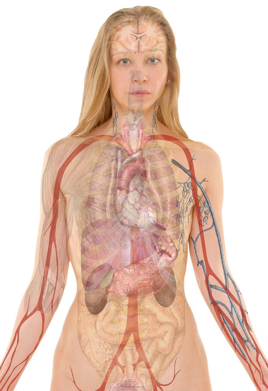 anatomy-254120_1280